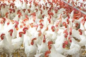A Flock of Broiler Chickens