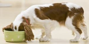 Puppy Eating Out of Dog Dish