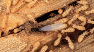 Termites Swarming in Wood