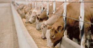 Cattle Feeding on Grain