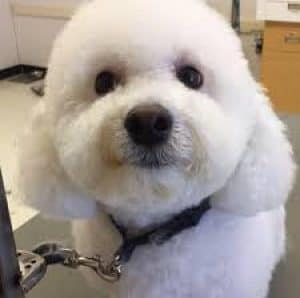Fluffy White Dog Groomed by Petco