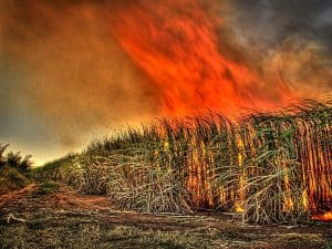 Sugar Cane Field in Pre-Harvest Burning
